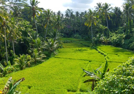 The rice fields of Tegallalang near Ubud, Bali