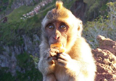 Cute monkey eating in Mount Batur, Bali